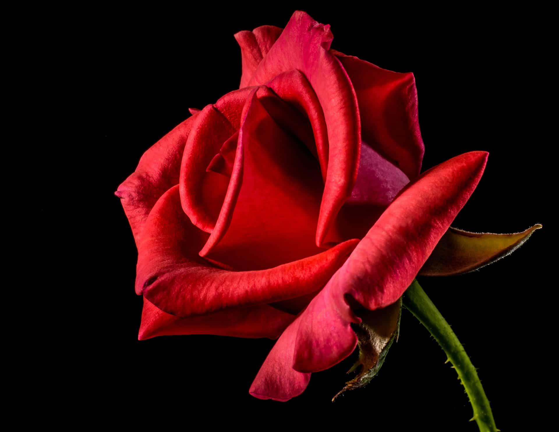 Rote Rosen, die Königin unter den Blumen